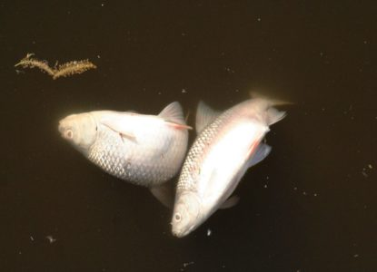 Twee dode vissen